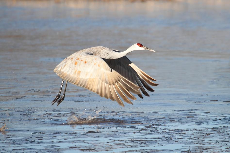 Sandhill Crane (Grus canadensis) in flight at Bosque del Apache in New Mexico over an frozen pond